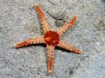 پاورپوینت کامل و جامع با عنوان بررسی ستاره دریایی و ساختار بدنی آن در 25 اسلاید