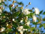 پاورپوینت کامل و جامع با عنوان بررسی گیاه مورد یا مورت (Myrtus) در 20 اسلاید